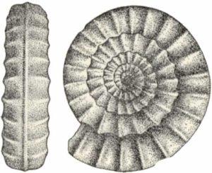 Echioceras