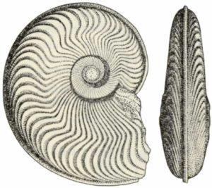 Harpocerus