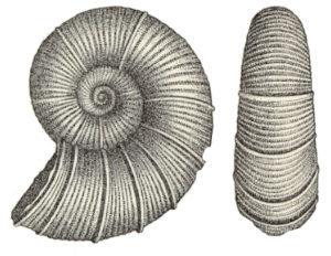 Lytoceras Lower Lias
