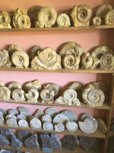 Collection of Ammonites